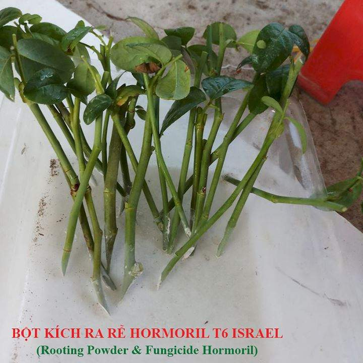 bot-kich-ra-re-hormoril-t6-israel-giam-canh-cay-hoa-hong1